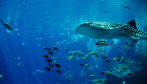 Top 3 Best Destinations to Dive with Whale Sharks